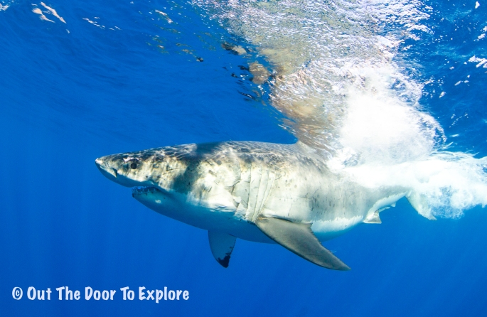 great white3