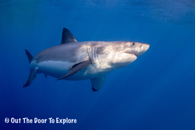 great white6