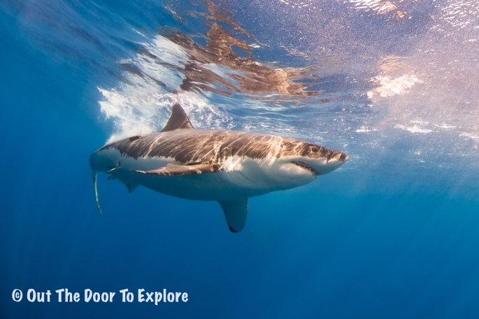 great white7