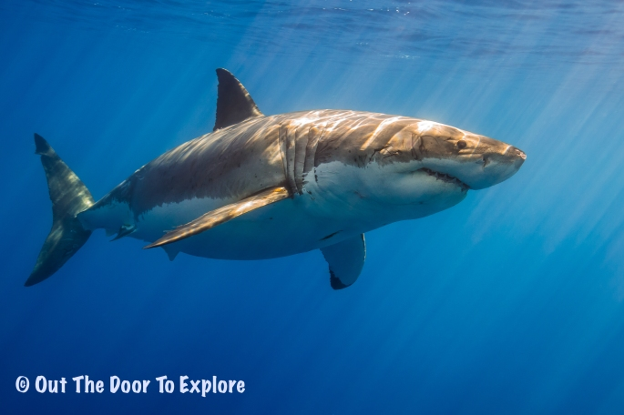 great white8