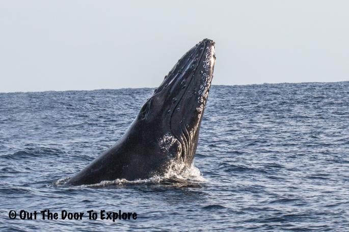 humpback3