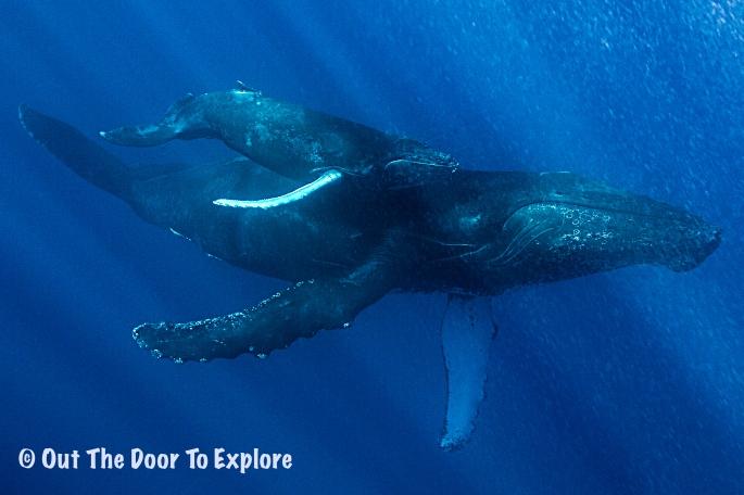 humpback8