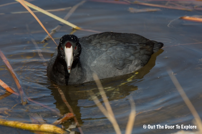 American Coot 3