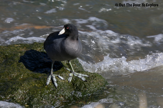 American Coot 8
