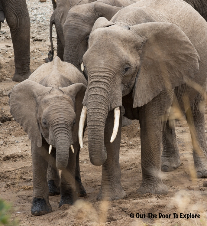 Elephants WH 11