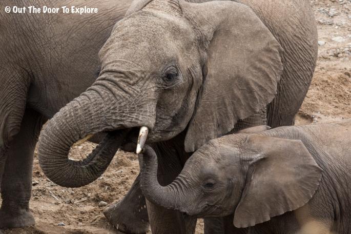 Elephants WH 7