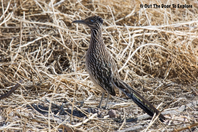 Greater Roadrunner 4