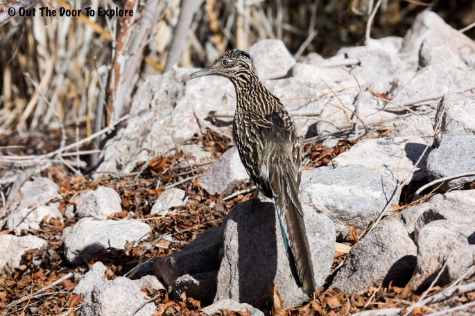 Greater Roadrunner 5
