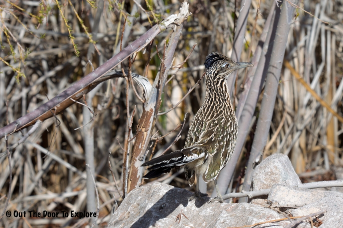 Greater Roadrunner 6