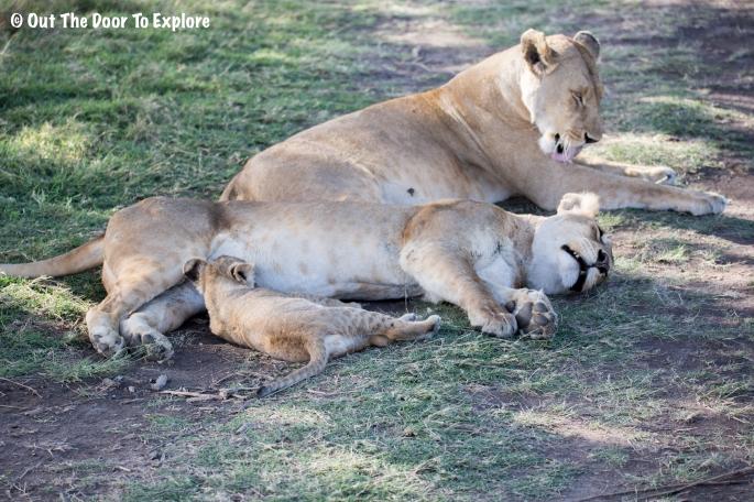 Lion Cub 10