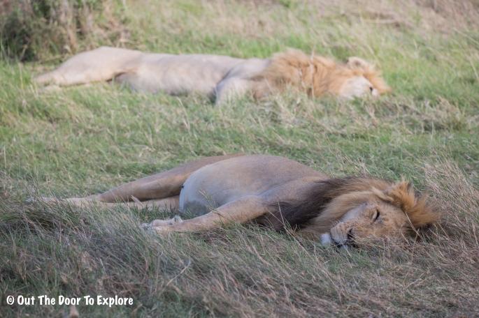 Lion Cub 11