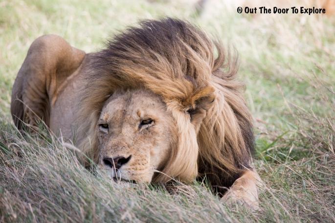 Lion Cub 12