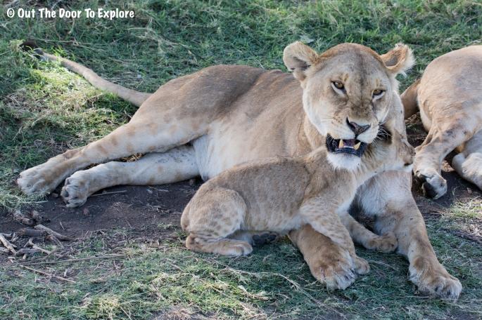 Lion Cub 3