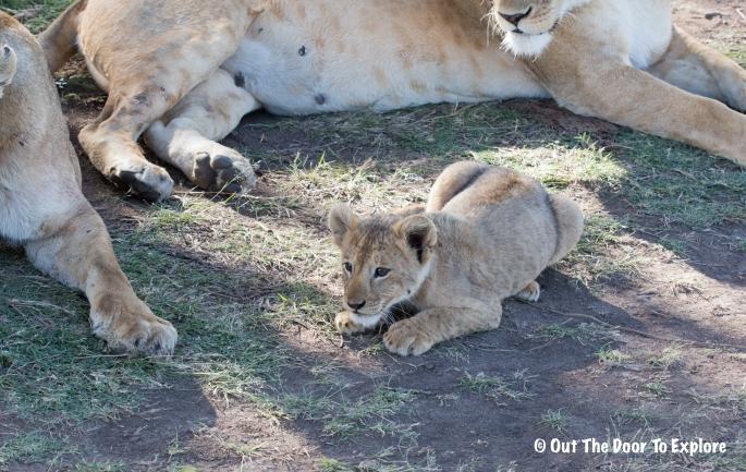 Lion Cub 5