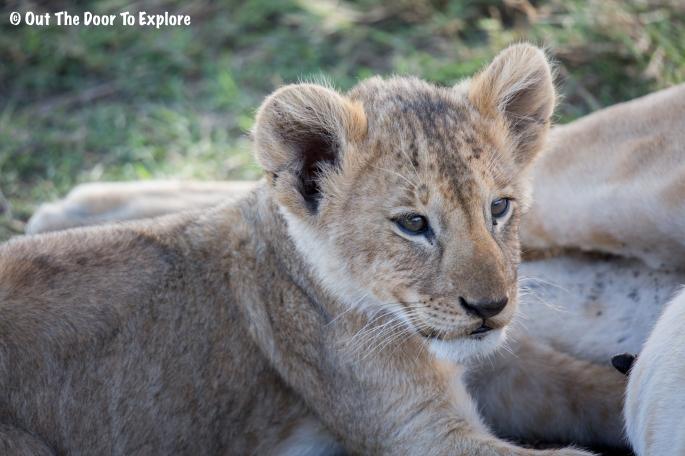 Lion Cub 8