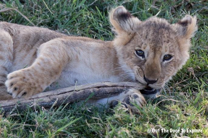 Lion Cub 9