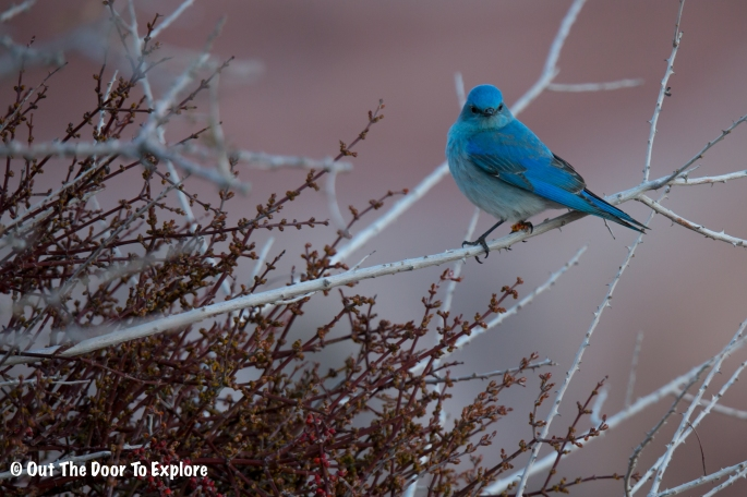 Mountain Bluebird 3