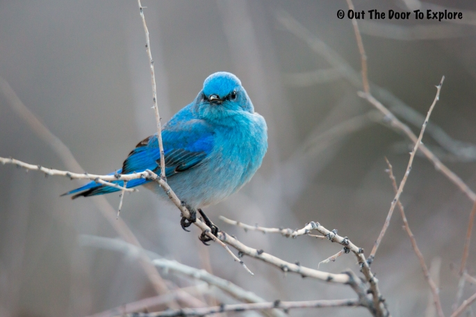 Mountain Bluebird 5