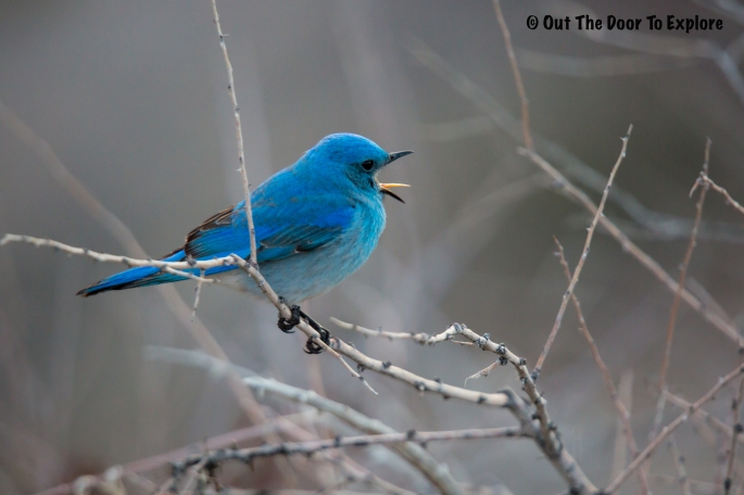 Mountain Bluebird 6