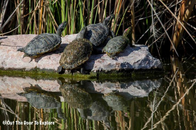 Red-Eared Slider Turtle 5