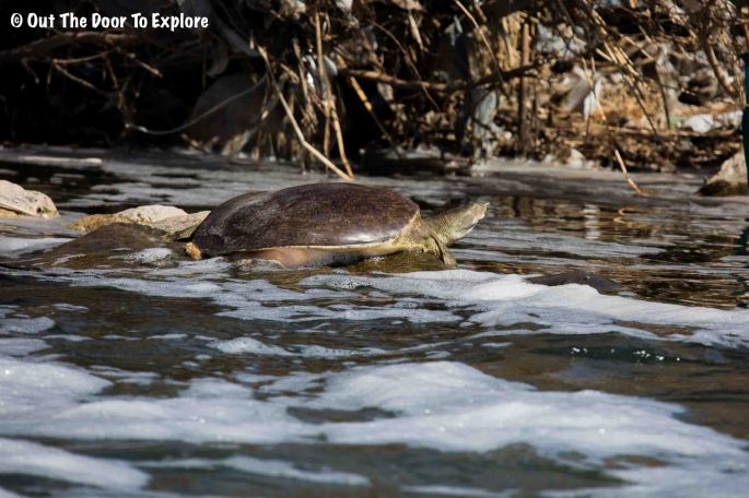 Spiny Softshell Turtle 2