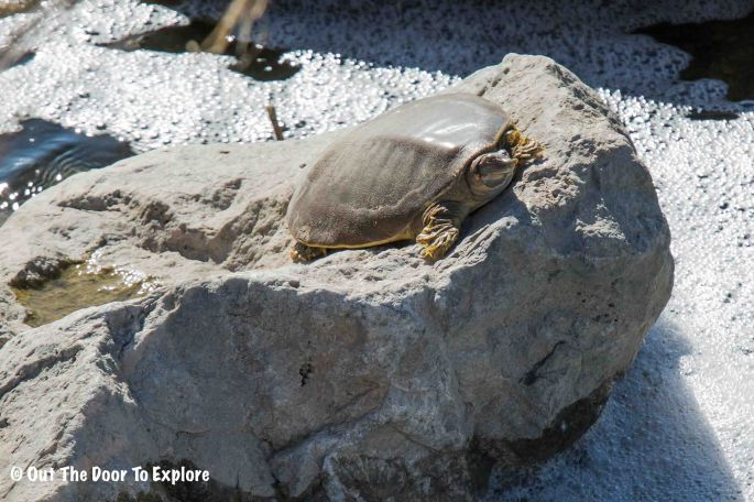 Spiny Softshell Turtle 4