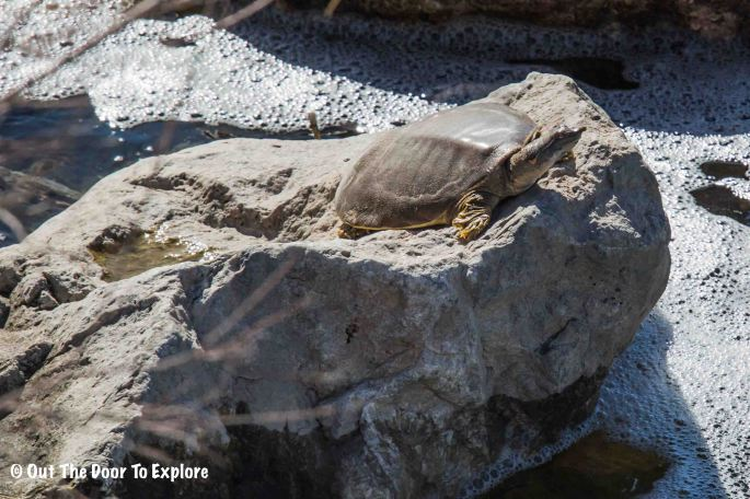 Spiny Softshell Turtle 5