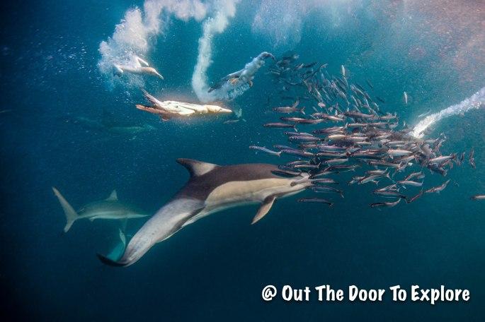 Dolphins & Gannetts 1
